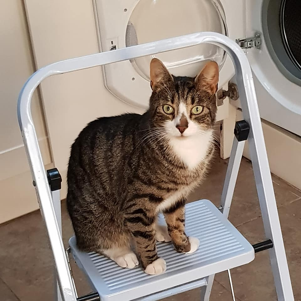Pickle Tabby Cat